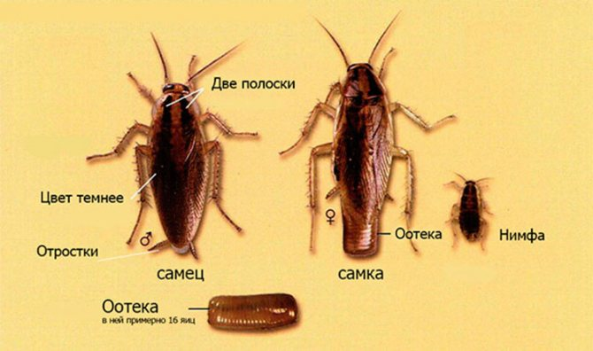 Как размножаются тараканы: описание всех этапов размножения, фото яйц и личинок русский фермер