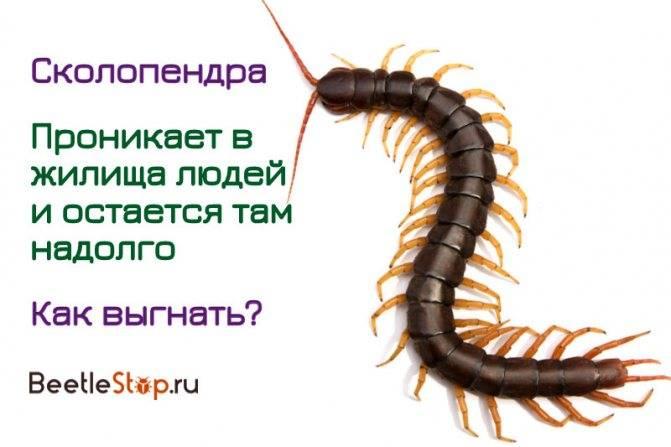 Сколопендра: фото насекомого, чем опасна, что делать после укуса