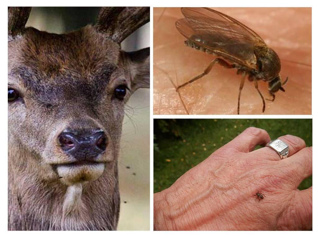Лосиные вши: опасны ли для человека их укусы?
