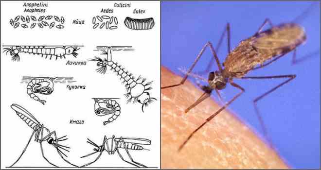 Продолжительность и цикл жизни комара. сколько дней живут комары после укуса?