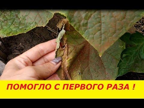 Что делает паутинный клещ на огурцах?