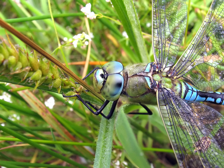 Дозорщик-император – стрекоза, фото и описание насекомого, красная книга, интересные факты
