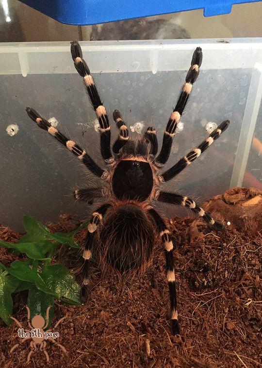 Паук тарантул: описание, фото, ядовитый или нет?