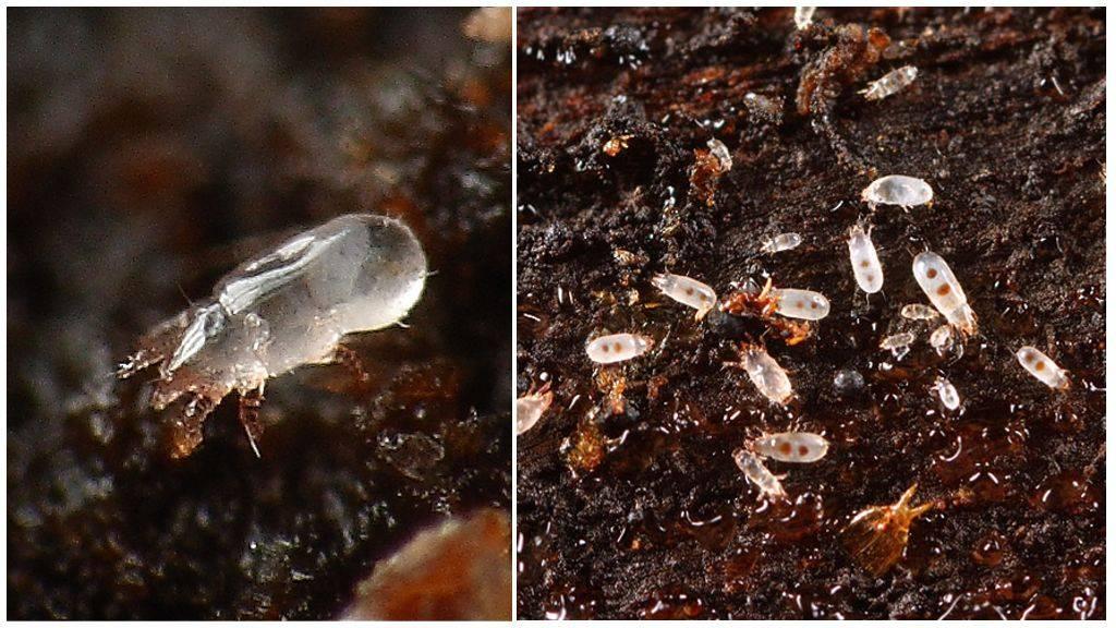 Клещ варроа: вред для пчел, средства и методы борьбы с вредителем