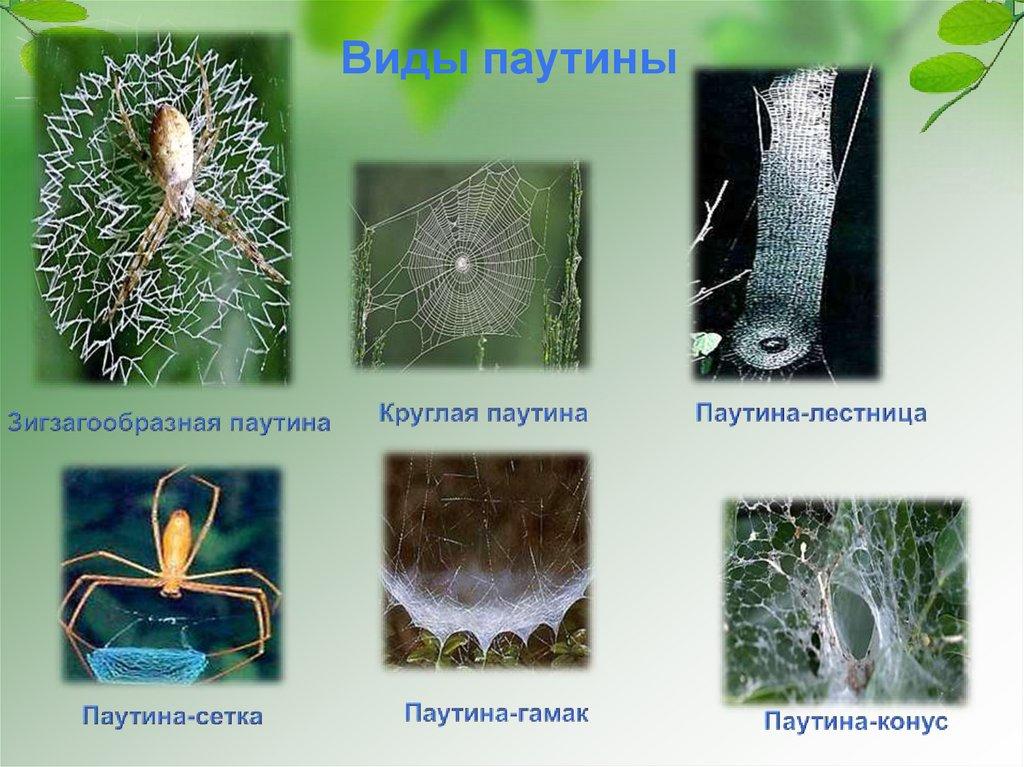 Паутина паука: как плетёт, где она образуется, откуда выходит, роль паутины в жизни паука? загадки паутины как вырабатывается паутина у пауков
