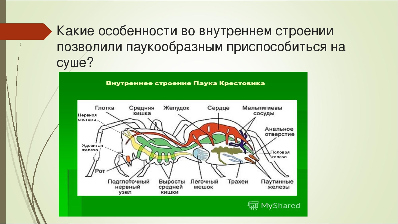 Тип членистоногие. общая характеристика, строение, размножение, разнообразие и значение членистоногих | биология