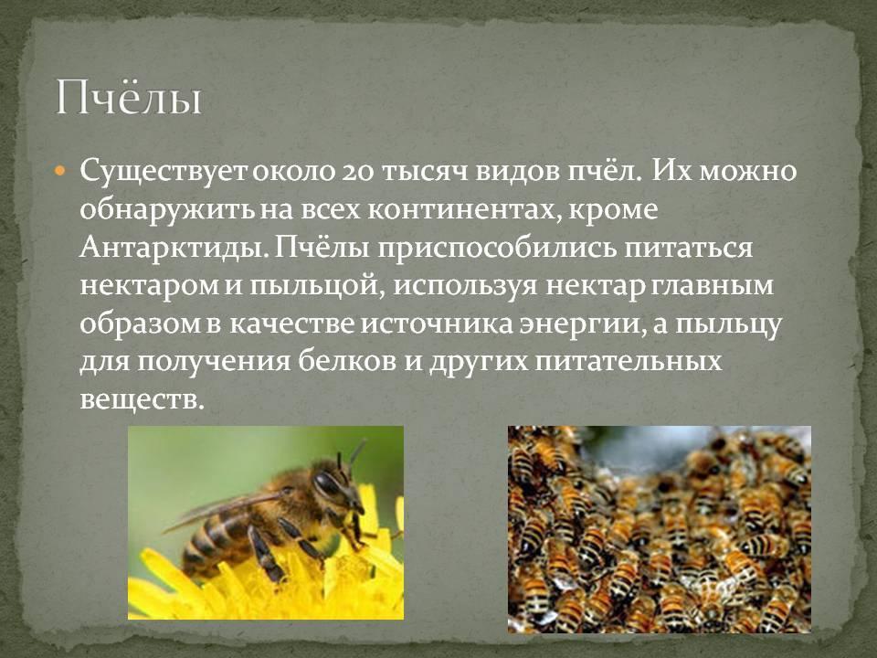 Карпатские пчелы — характеристика, возможности для разведения в средней полосе. | cельхозпортал