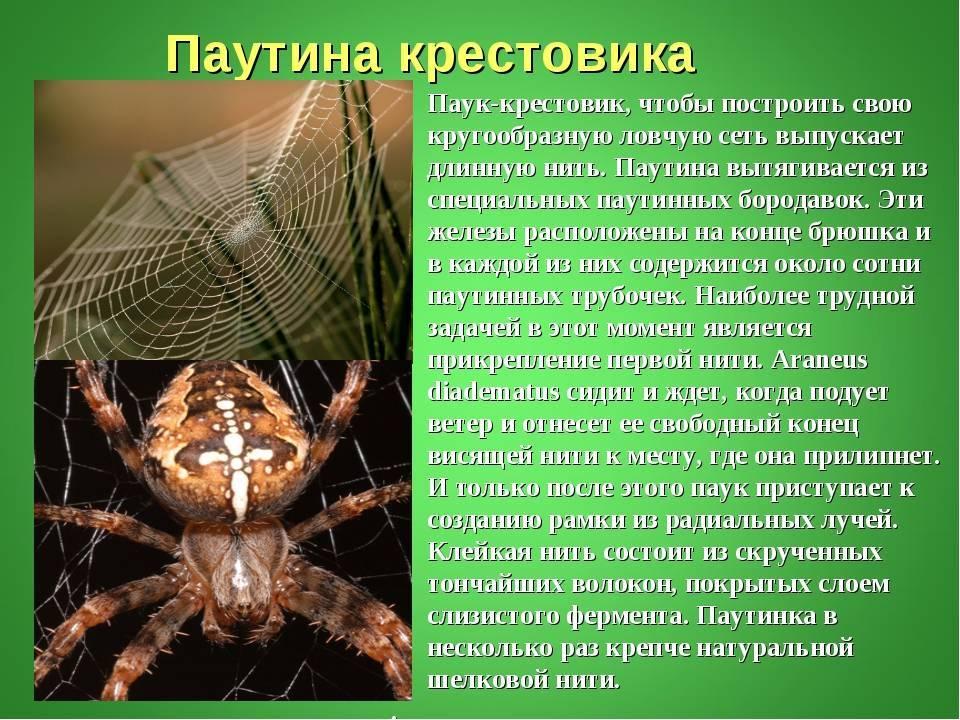 Опасен ли укус паука крестовика: первая помощь, как лечить, фото