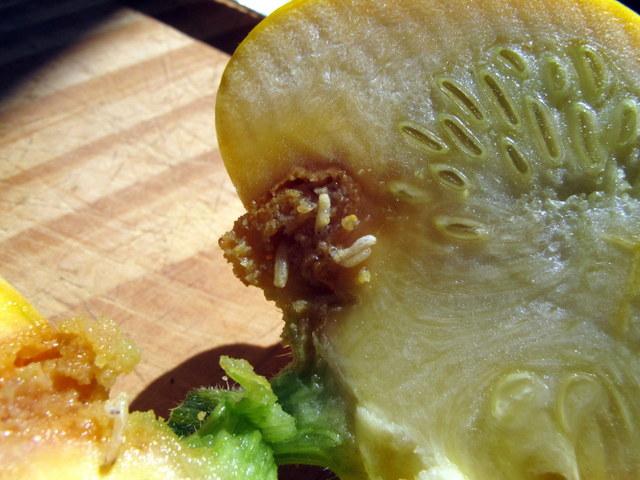 Болезни и вредители дынь, основные проблемы выращивания