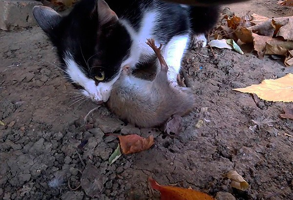 Едят ли кошки мышей: польза, вред, как отучить