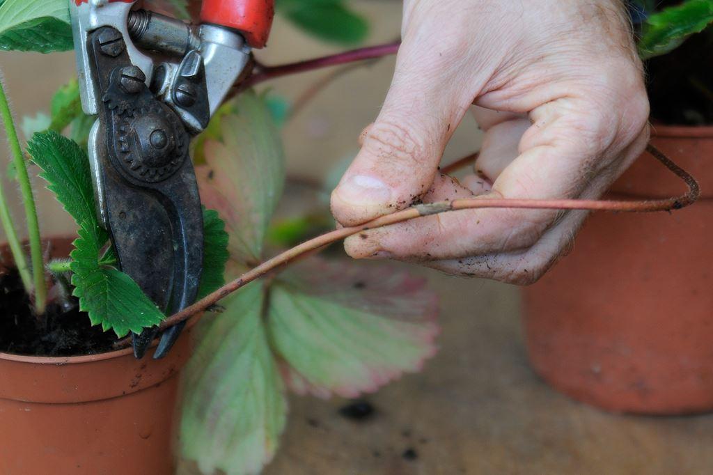 Как избавиться от муравьев на клубнике народными средствами