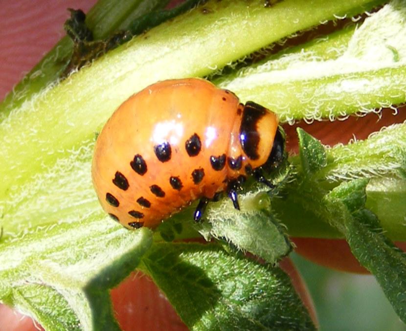Откуда появился колорадский жук, как выглядит взрослая особь и личинка, чем питается и как происходит развитие