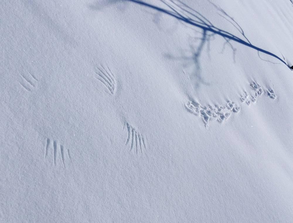 Следы животных и птиц на снегу – схемы с названиями - огород, сад, балкон - медиаплатформа миртесен