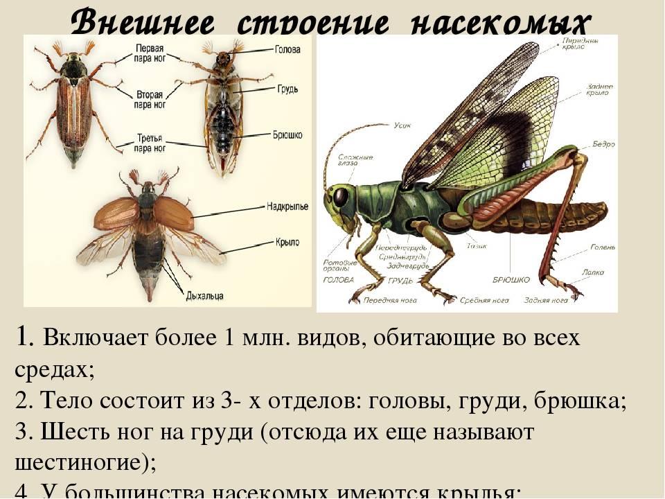 Стрекоза решетчатая: описание внешнего вида и образа жизни амфибиотических насекомых