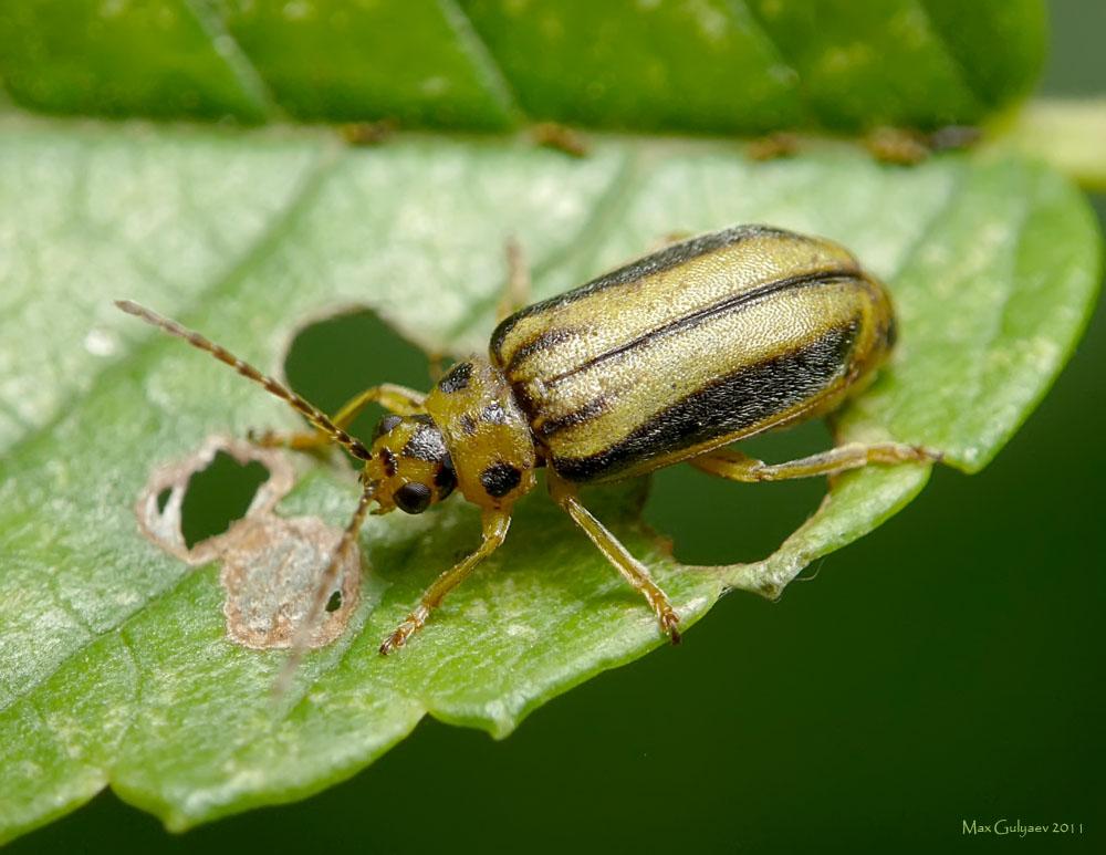 Листоед: способы борьбы с жуком, эффективные методы