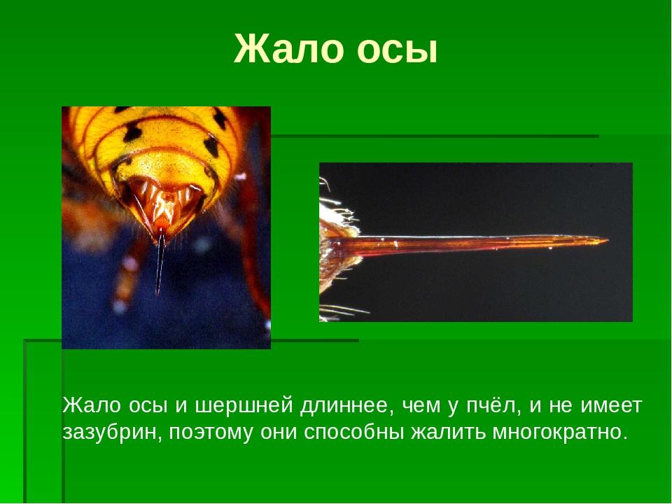 Жало у осы и его применение: сравнение жала осы и пчелы
