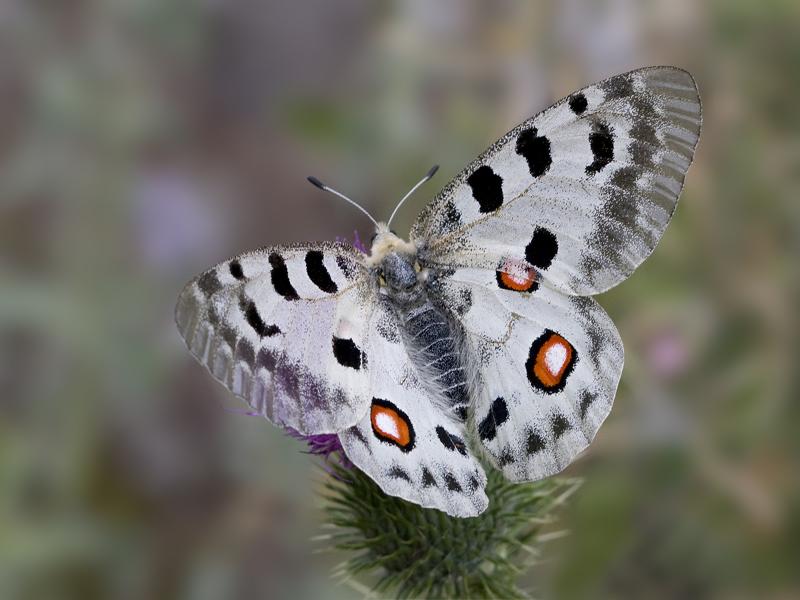 Бабочка-аполлон красной книги россии – фото и описание, интересные факты, доклад, сообщение