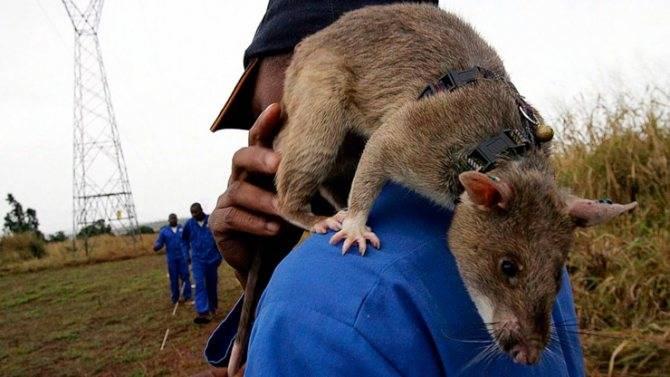 Гамбийская крыса (21 фото): описание и содержание в домашних условиях. сколько живет сумчатая крыса?