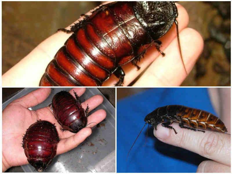 К чему снятся тараканы: женщине, мужчине, живые тараканы во сне.