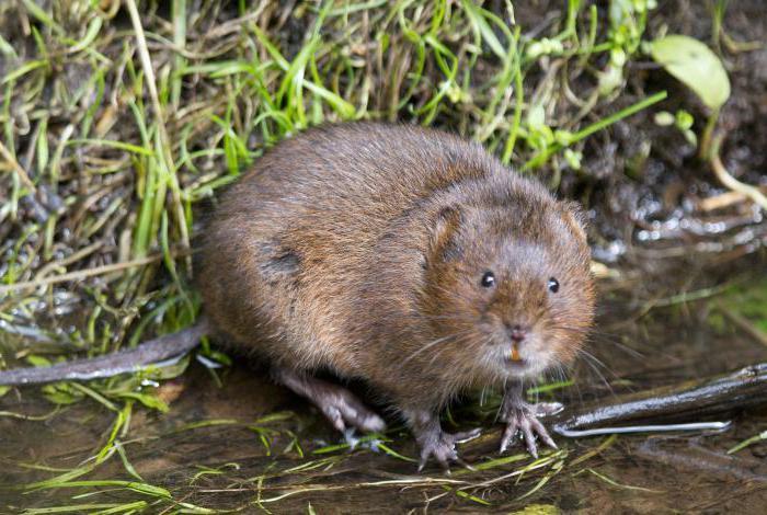 ᐉ водяная крыса: как выглядит и где обитает, вред и польза для человека - kcc-zoo.ru