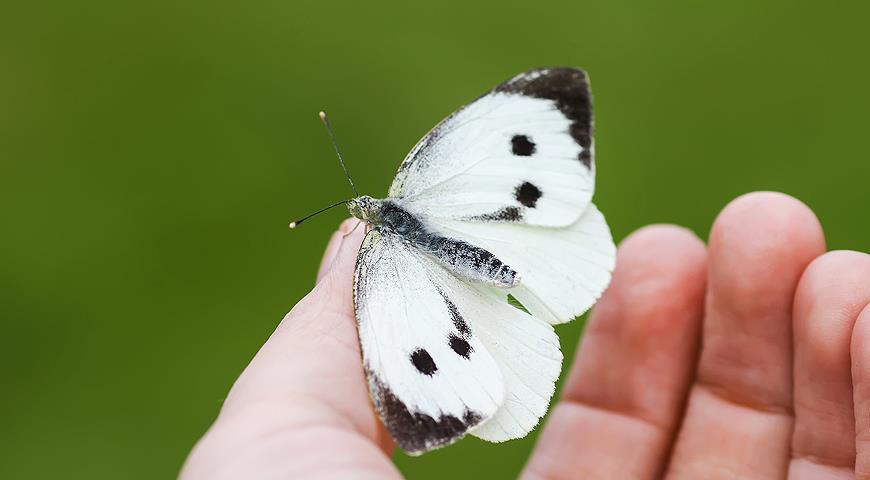 Бабочка-капустница: фото и описание, среда обитания и питание