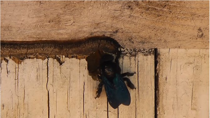 Пчела-плотник: описание и виды черных пчел