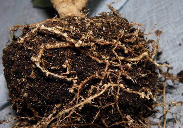 Тля на комнатных растениях: белая и иные виды, и как выглядит на фото, как избавиться, в том числе бороться народными средствами и уничтожить с помощью препаратов?