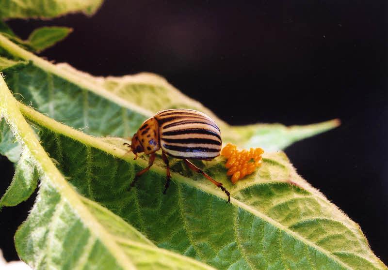 Колорадский жук – общая характеристика (систематика, распространение, особенности развития и жизненный цикл)