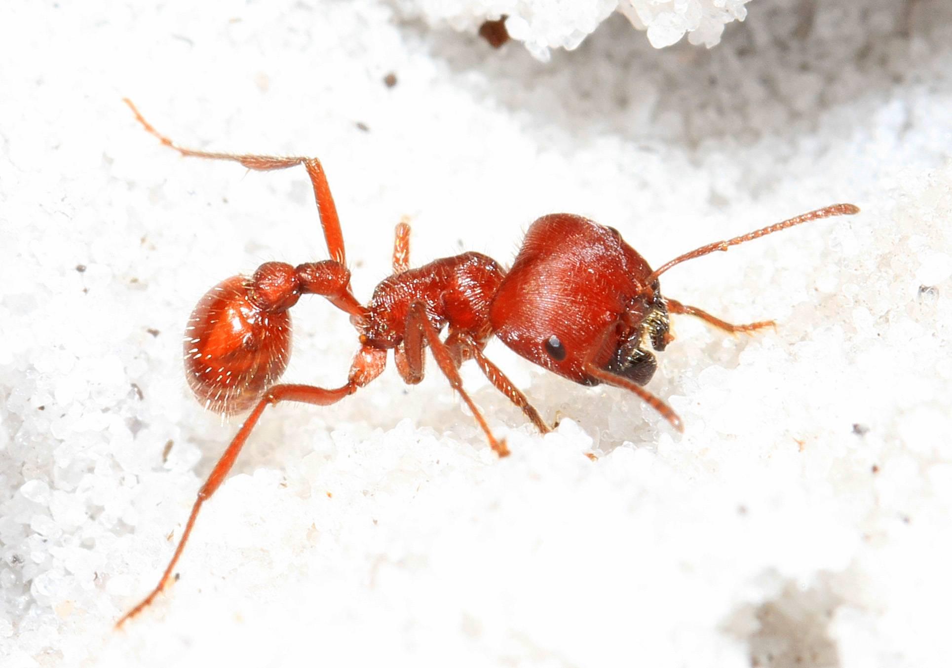Интересные факты о муравьях, анатомия, виды, питание, размножение, устройство муравейника – удивительные факты