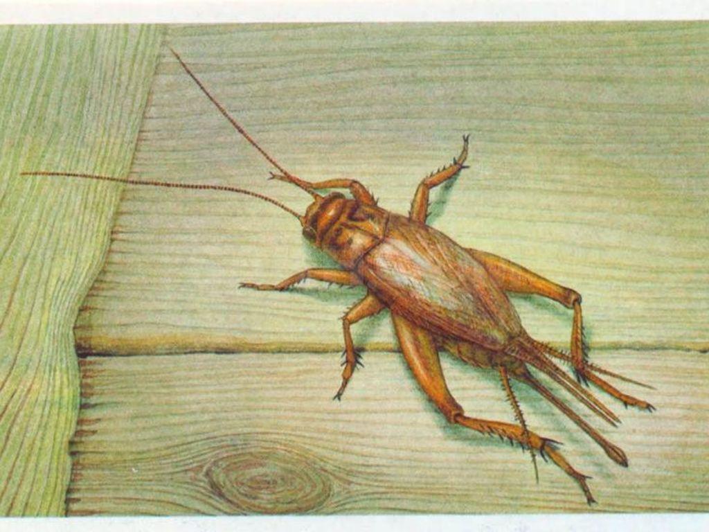 Сверчки: описание с фото, как выглядят, виды с названиями