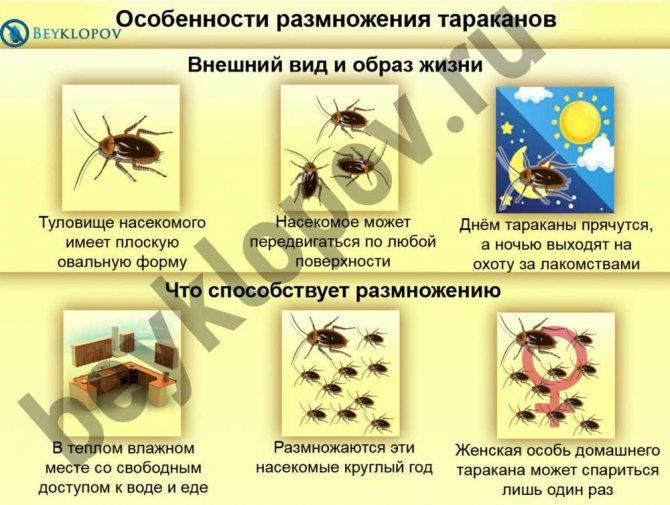 Сколько лет или дней живут домашние тараканы: без головы, еды и воды