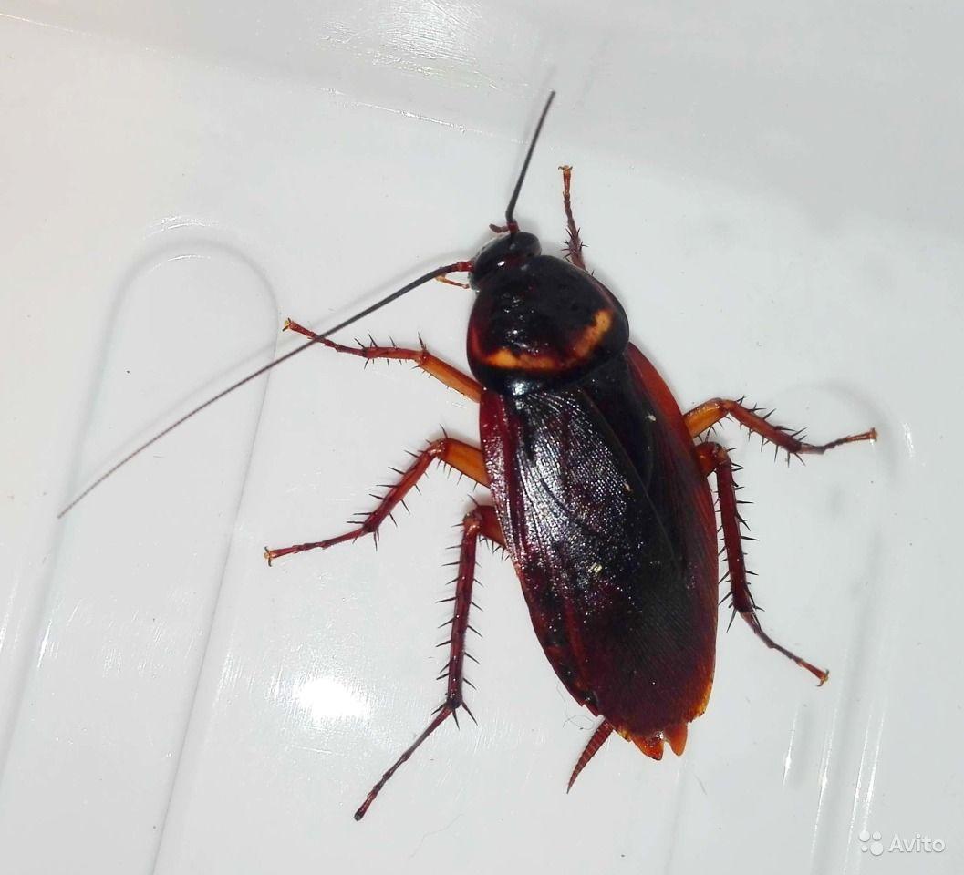 Рацион террариума: как разводить кормовых тараканов?
