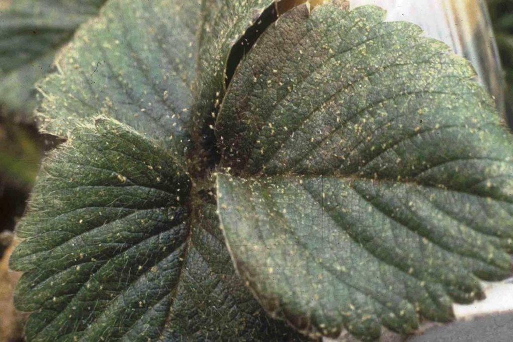 Борьба с клещом или почему у клубники скручиваются листья