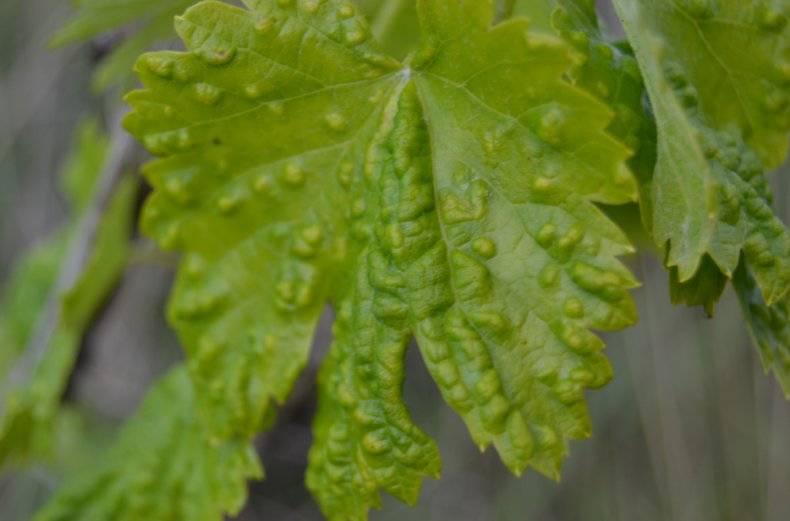 Виноградный вредитель клещ, зудень, борьба.