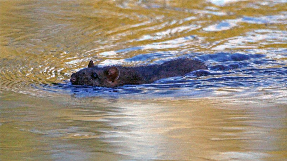 ᐉ умеют ли крысы плавать (дикие и домашние)? - zoopalitra-spb.ru