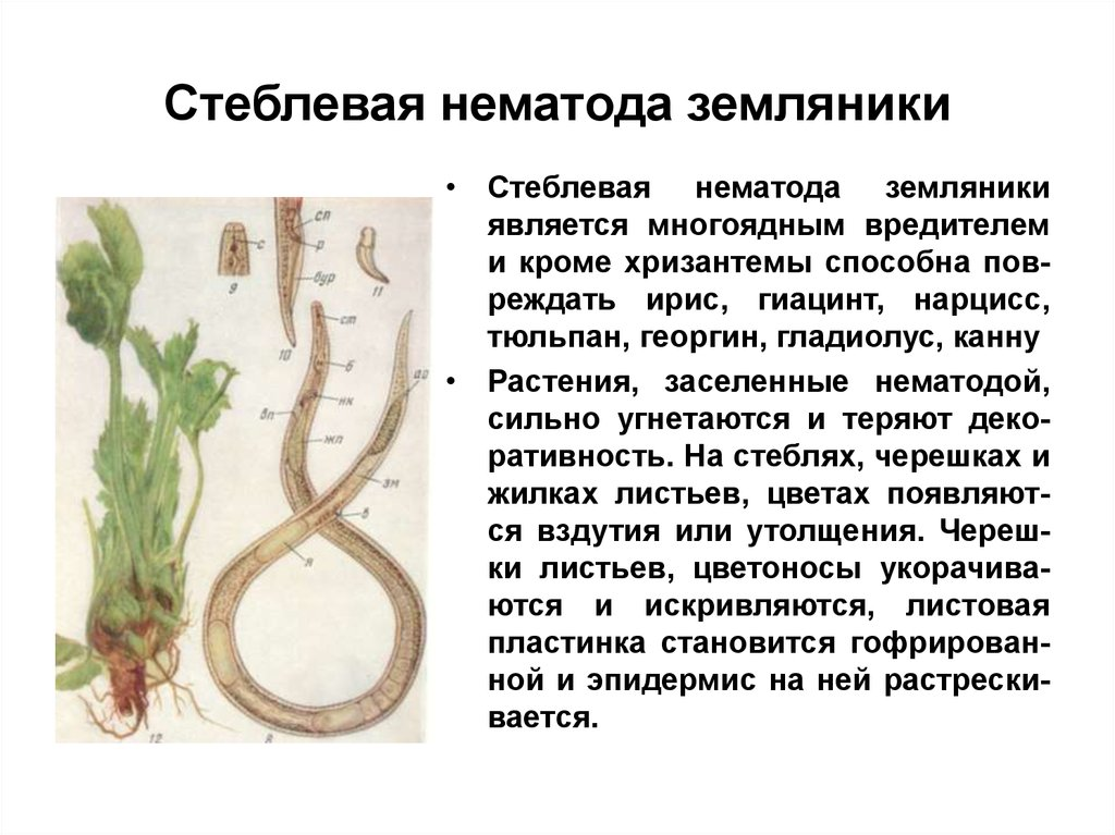 Нематода: способы борьбы с самым опасным вредителем садов и огородов