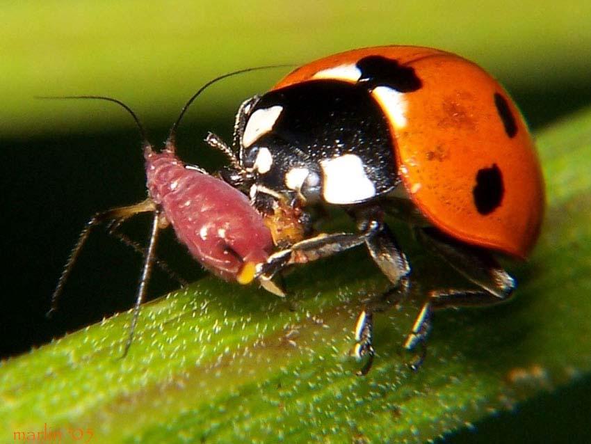 Насекомые, как способ уничтожения тли и кто ещё ест паразита? эффективные правила борьбы