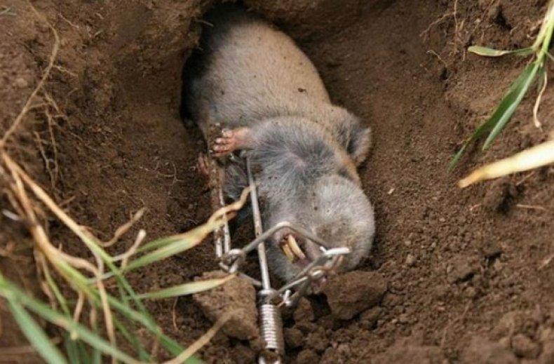 Избавляемся от земляных крыс: способы из опыта