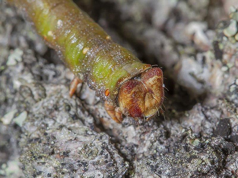 Березовая пяденица – как бороться с нашествием гусениц