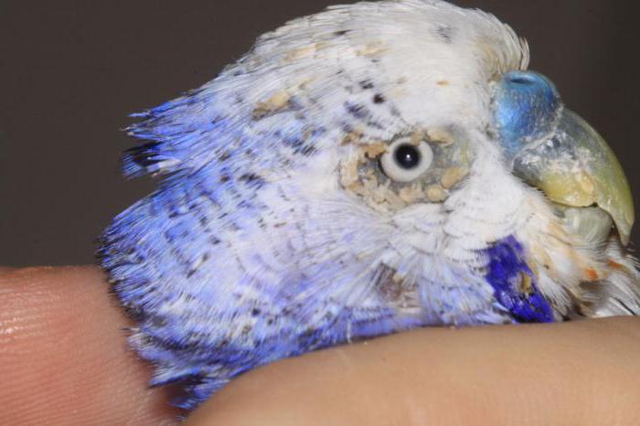 Бывают ли блохи у попугаев волнистых, как вывести в домашних условиях