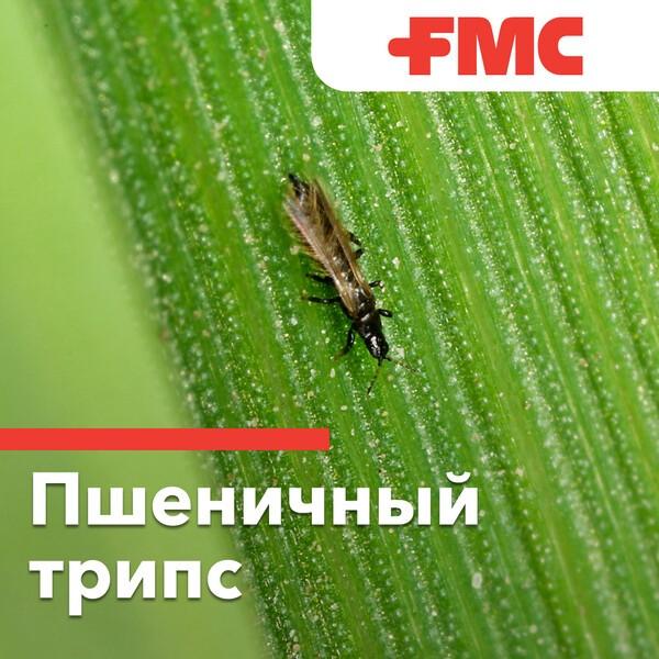 Пшеничный трипс – опасный враг пшеницы. трипс пшеничный: особенности развития и меры борьбы с вредителем инсектициды от трипса на озимой пшенице