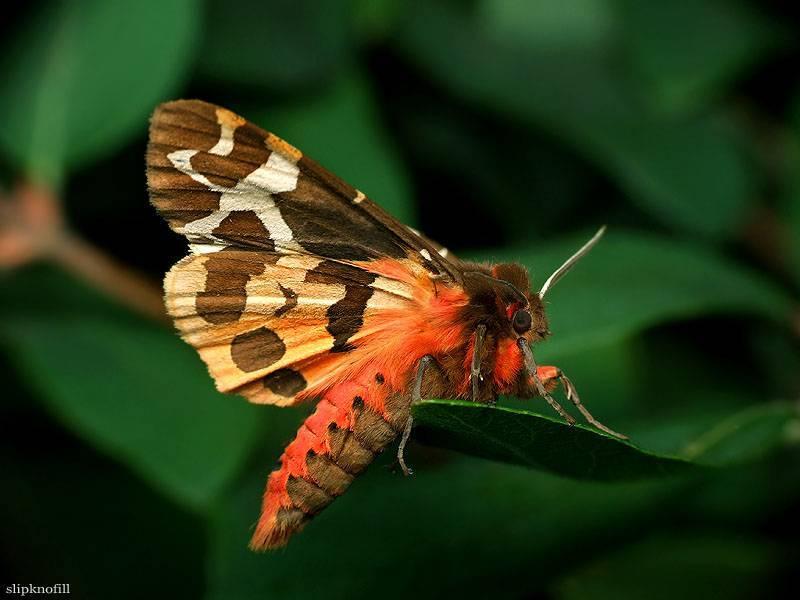 Бабочка медведица - описание, среда обитания, виды