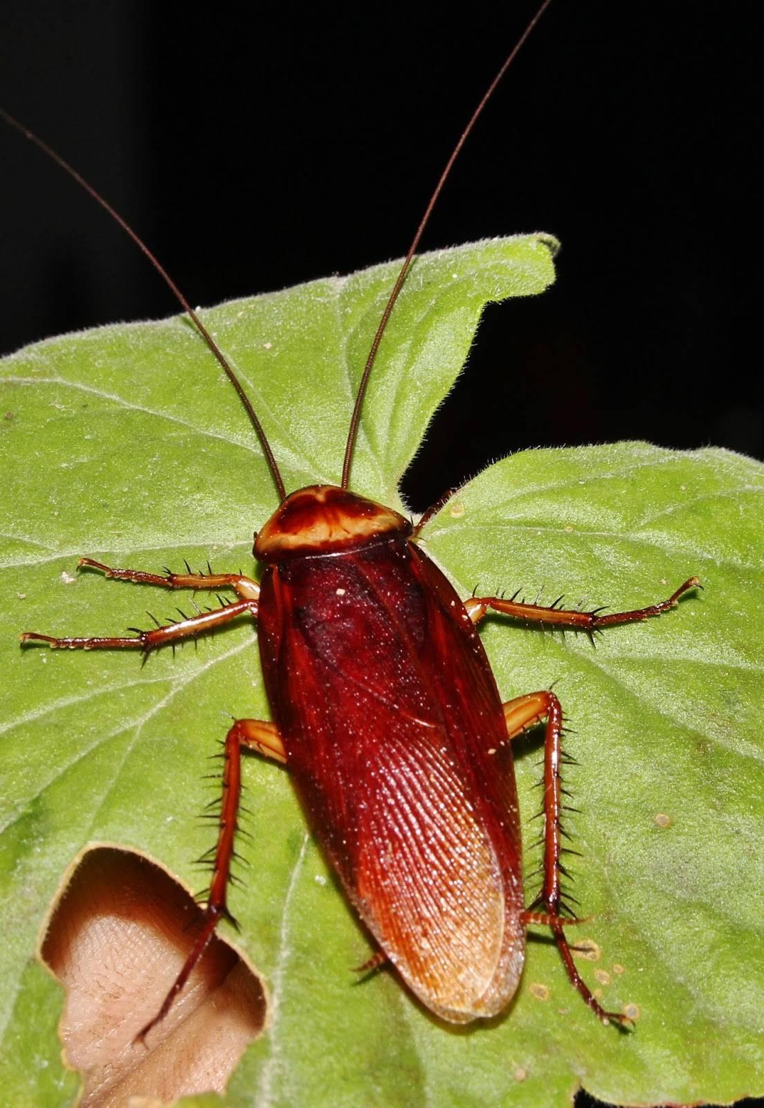 Летучие американские тараканы: внешний вид, вред для человека