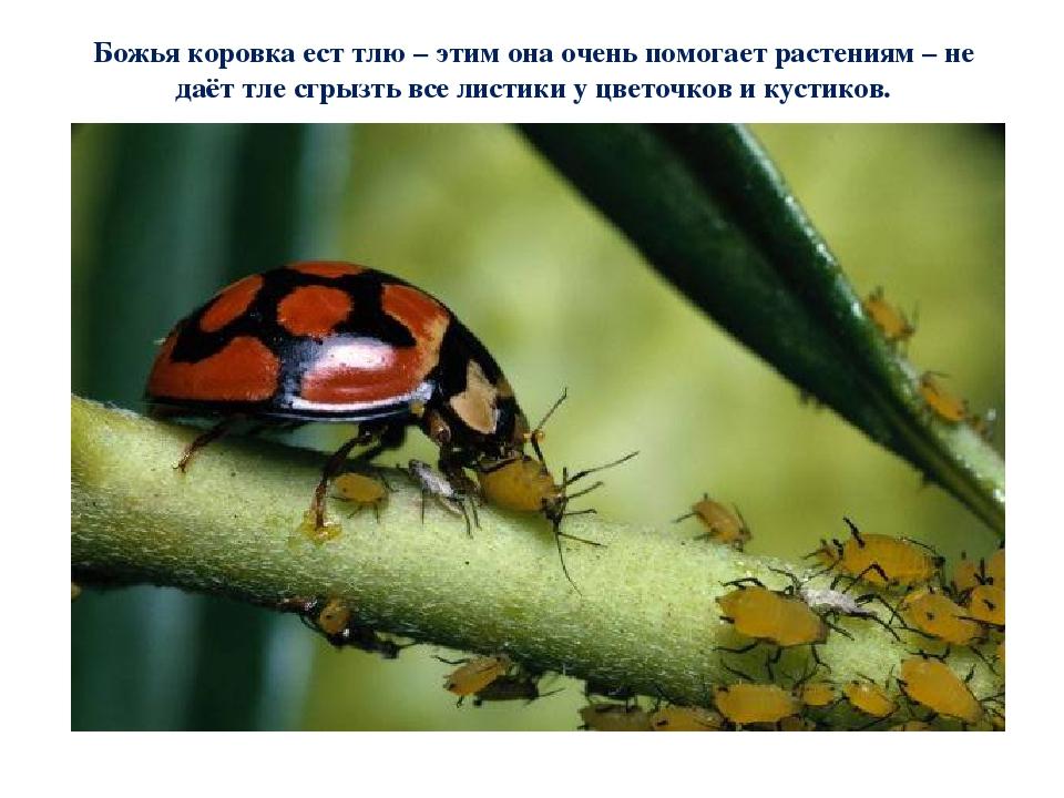 Божья коровка - чем полезна и как живет семиточечное насекомое (105 фото видео)