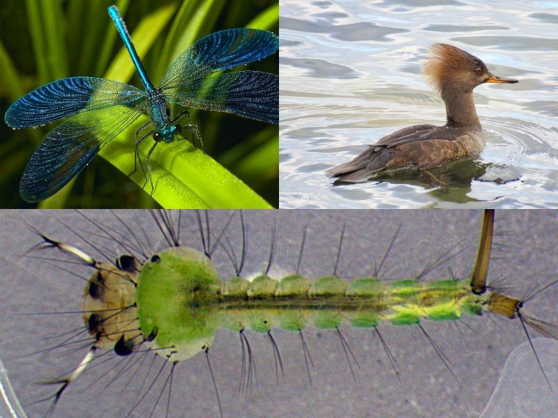 Какие животные едят комариные куколки и яйца: стрекозы и птицы