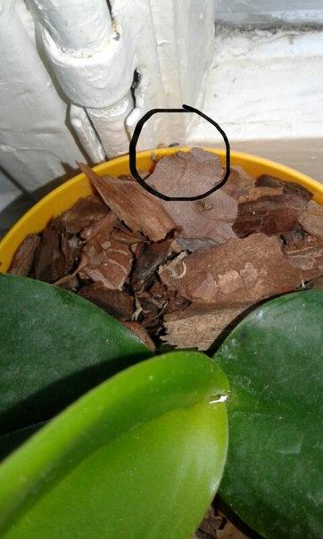 Завелись мошки в орхидее: что делать и как избавиться, обзор лучших средств