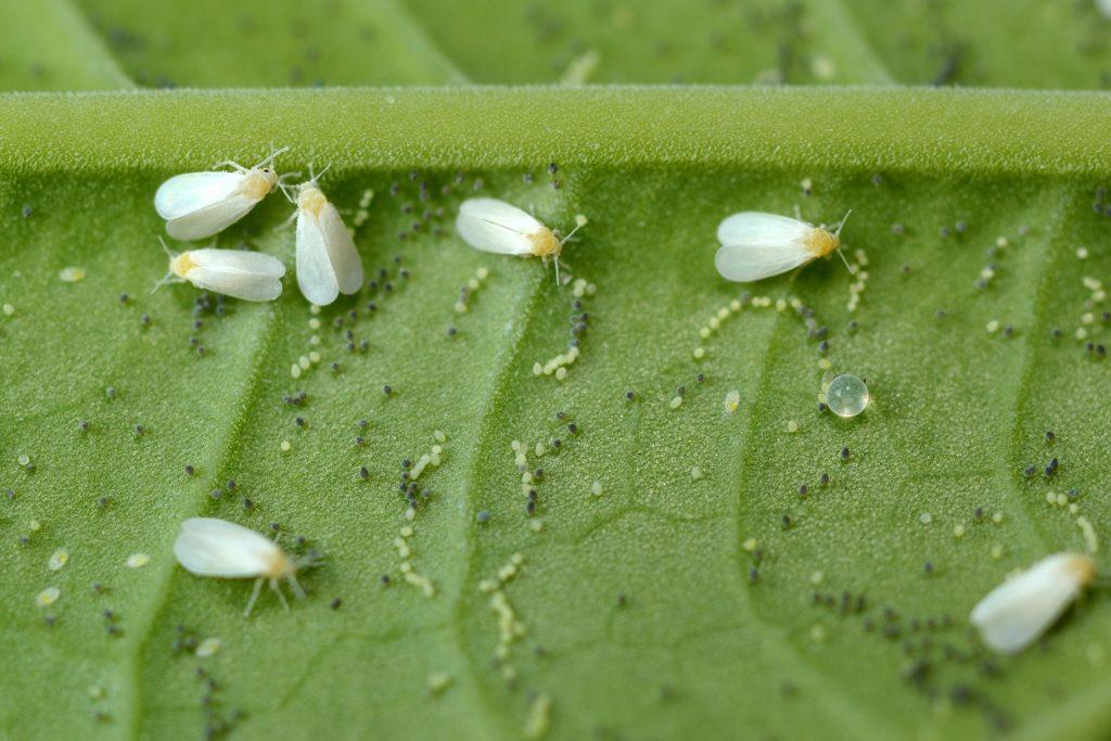 Борьба с белокрылкой на комнатных растениях: 7 народных рецептов