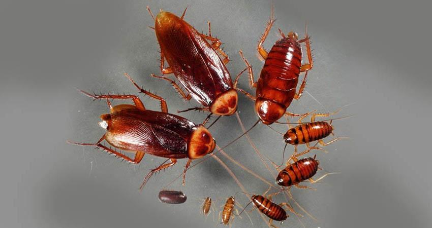 Сколько живут домашние тараканы - этапы развития