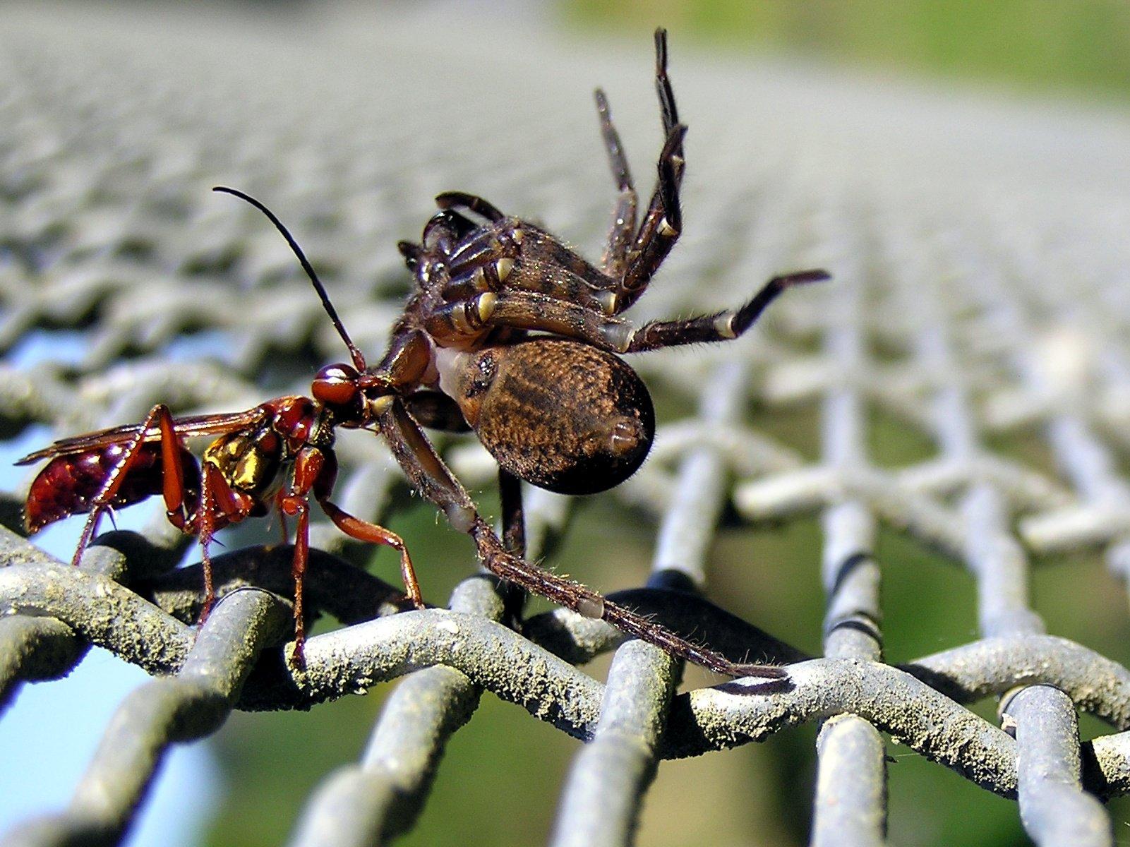 Паук-оса или аргиопа брюнниха – паук желто-черный полосатый