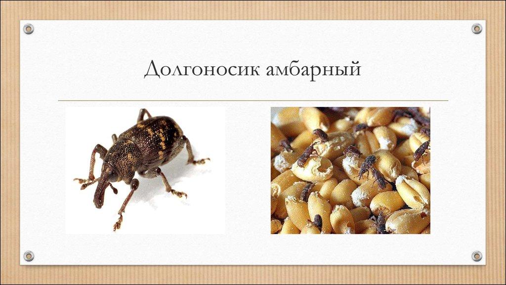 Долгоносик: методы борьбы с главным вредителем зерновых